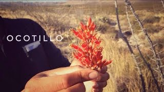 Desert Survival Food: Ocotillo Tea