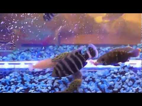 african cichlids eating mouse jt