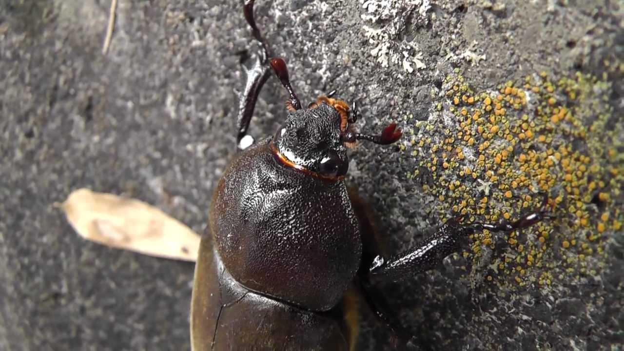 Large japanese beetle order coleoptera youtube large japanese beetle order coleoptera sciox Images