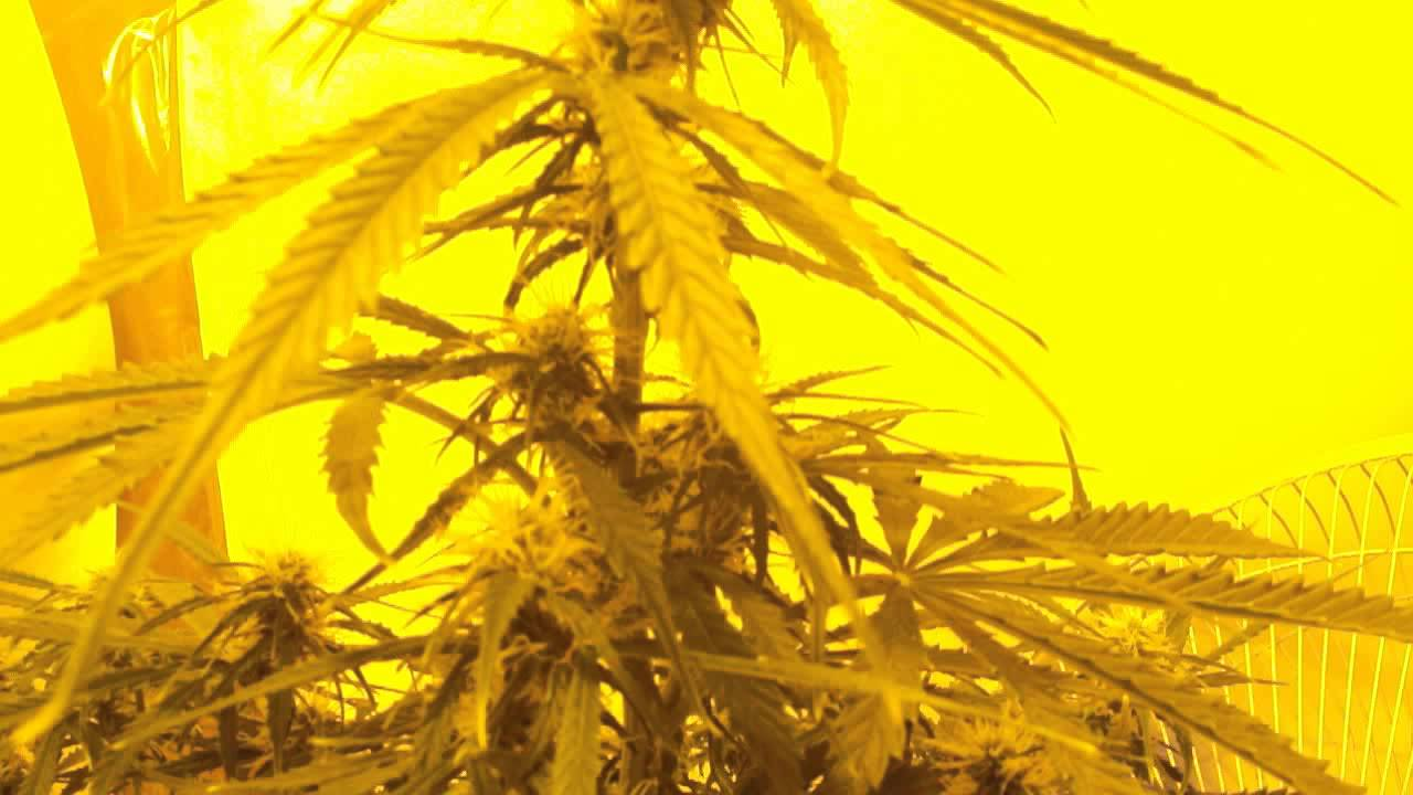 Northern Lights Autoflower Week 8 54 Days Veg Flower