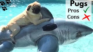 Pug dog Good and Bad. What you need to know about Pugs. All about Pug Puppies