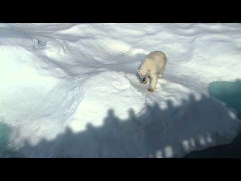 Polar Bears Along Baffin Island