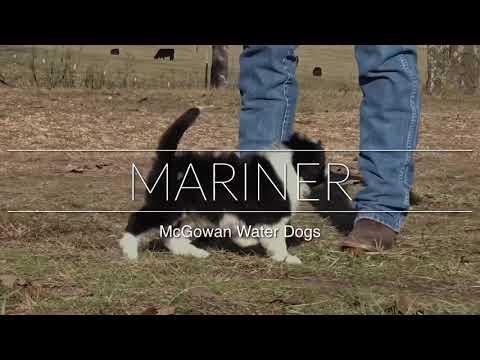Mariner AKC Portuguese Water Dog Puppy