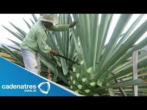 ¿Cómo se elabora el mezcal? / How is mezcal made?
