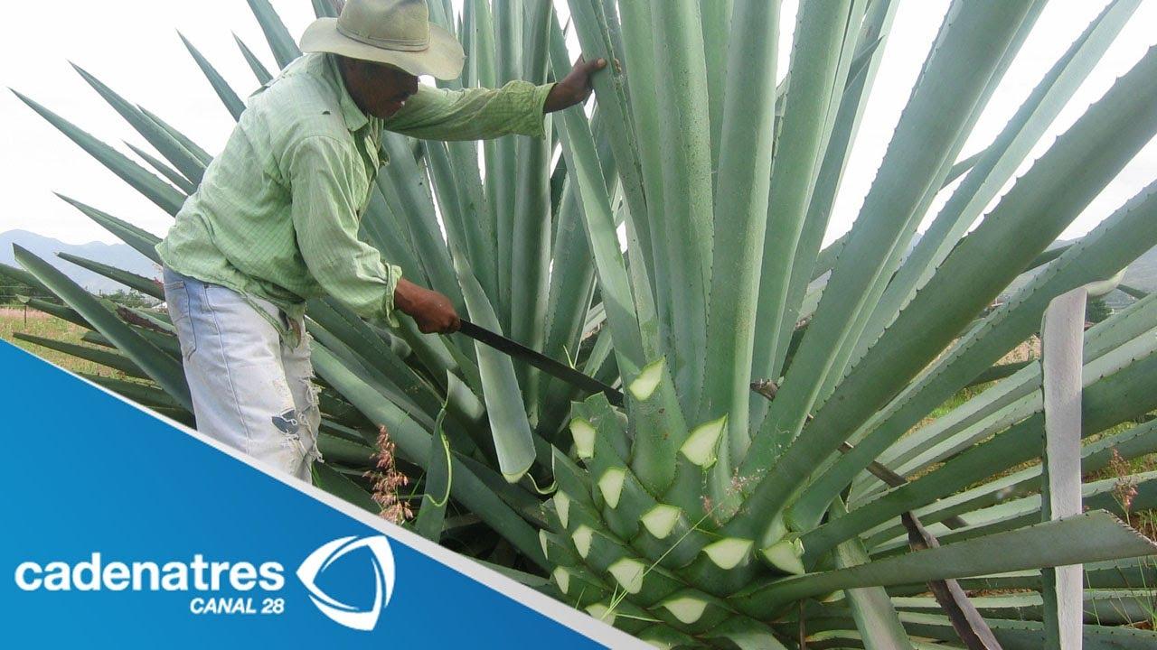 C mo se elabora el mezcal how is mezcal made youtube - Como se planta el bambu ...
