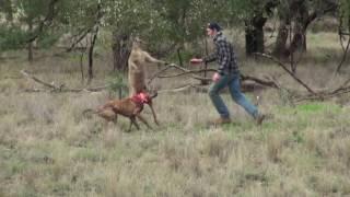 愛犬を守るためにカンガルーと闘う男.