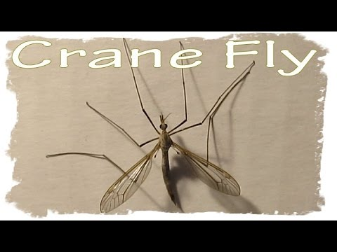 Crane Fly ~ not a Large Mosquito