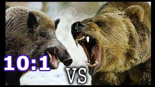 Медведь против Кабана. Драка животных. Кто кого?