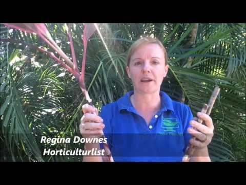 How to Prune your Cordyline rubra