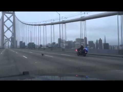 Police chase a Chihuahua across the San Francisco Bay Bridge