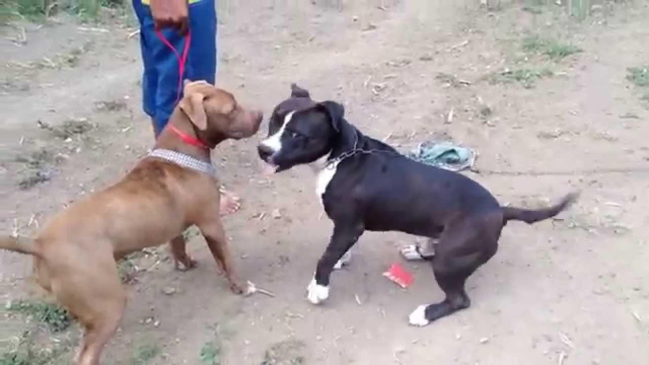 Gattor Moutha Nd Watch Dog