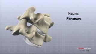 Anatomia Coloanei Vertebrale Cervicale