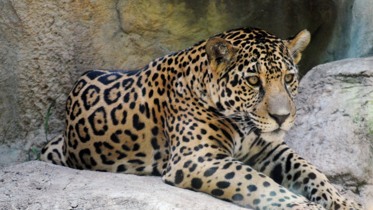 differences between jaguars and leopards? - youtube