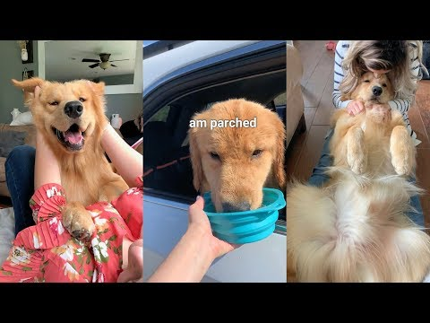 Daily Life With a Golden Retriever | Compilation