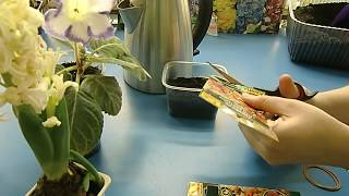 видео Как из семян вырастить гибискус в домашних условиях?