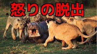【閲覧注意】①ライオンの狩りVSカバ!捕食危機から怒りの脱出!②ワニに...