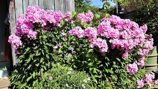 Как и какие цветы сажать (делить) в августе сентябре?! Секреты опытного садовода!