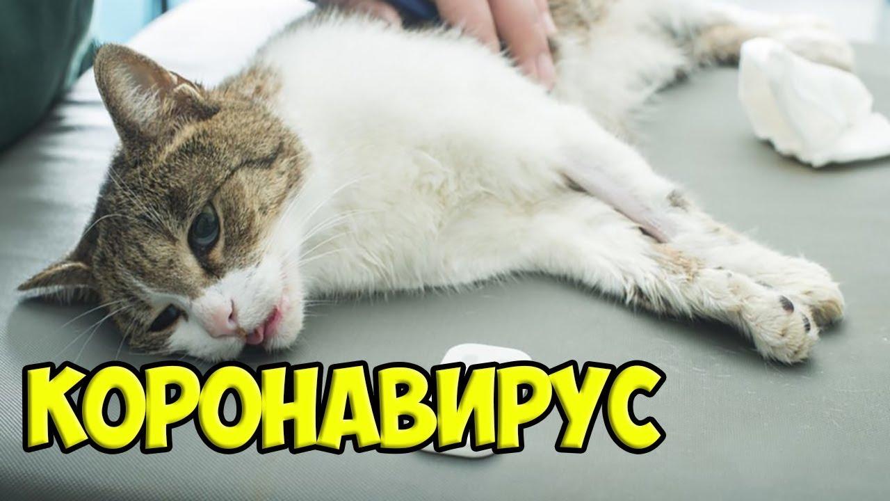 коронавирус у кошек Cимптомы короновирус кошек