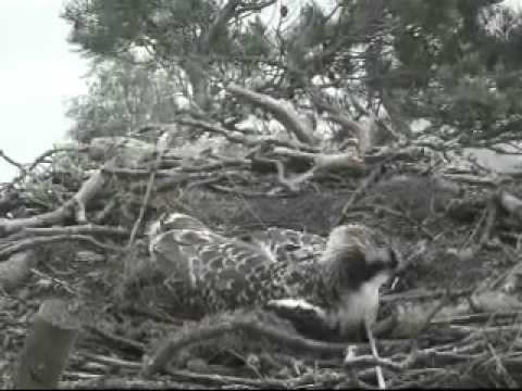 """Blue44 """"lost"""" is now back on nest fish-calling - """"Scottish Wildlife Trust"""""""