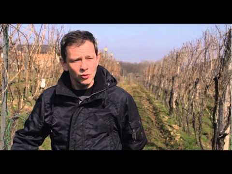 Pravilno orezivanje vinove loze   U nasem ataru 577