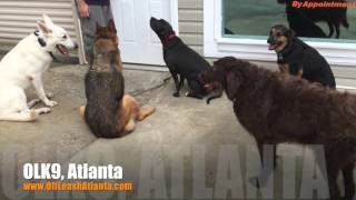 "10 Year Old German Shepherd ""stormy"" Before/after Video #olddognewtricks | Atlanta Dog Trainers"