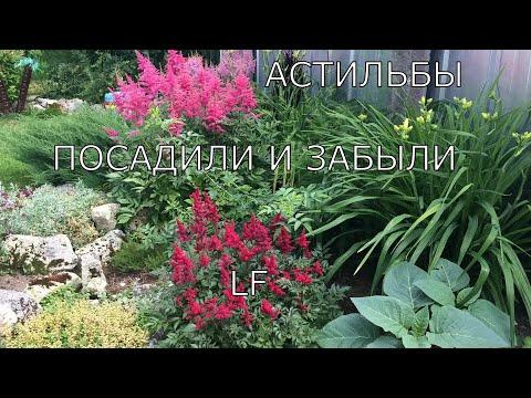 Астильбы. Многолетние цветы для сада. Секреты выращивания.
