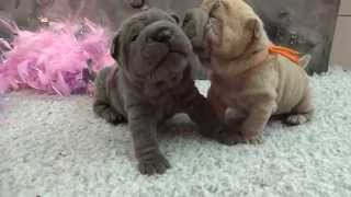 sharpei pups 3 weeks old ( girls)