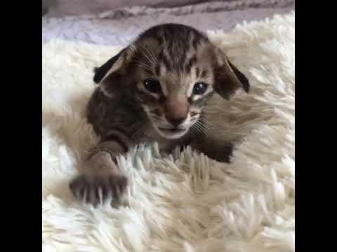 Wacka - Dr. Wack a Doodle YesWeCat - Oriental Shorthair Cat - Black Spotted