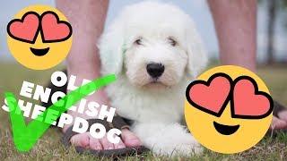 10 Reasons why YOU NEED an Old English Sheepdog┃Ed&Mel