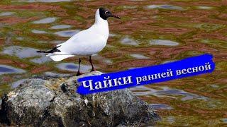 Чайки ранней весной Чайки ранней весной Птицы весной летомчайки гуси серая цапля дрозд