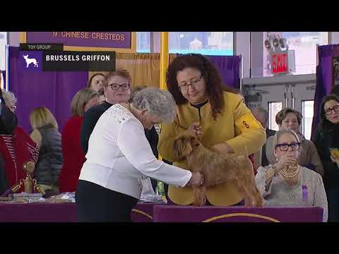 Brussels Griffons | Breed Judging 2019