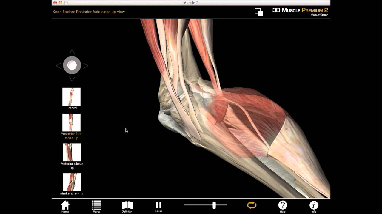 Medial knee rotation and knee flexion muscle action with Muscle ...