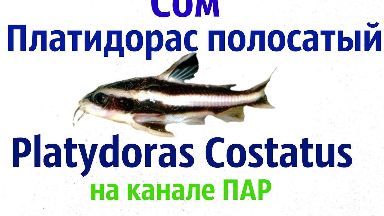 Аквариумные рыбки  Сом платидорас полосатый Platydoras Costatus