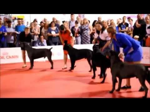 World Dog Show - Milano 2015 / Cane Corso