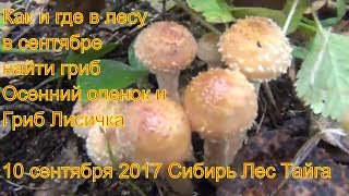 Поход в лес за грибами опятами и лисичками 10 сентября 2017 Сибирь тайга природа охота сбор грибов