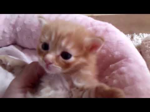 Missy's Red Tabby Longhaired Japanese Bobtail Kitten - 08/01/18