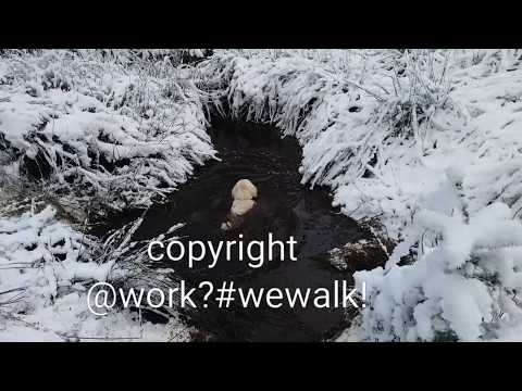 Toby dives into muddy pond and won't come out ORIGINAL created and owned by @work?#wewalk!