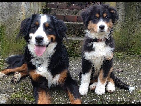 Bernese Mountain Dog Puppy Miniature