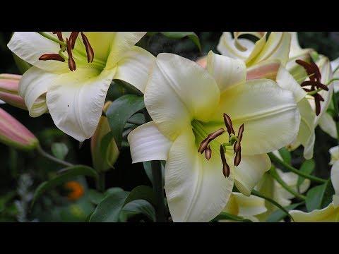 Как укоренить лилию из букета в домашних условиях