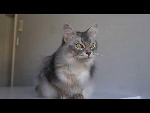 Somali Cat Chasing a Bug