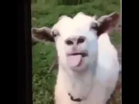 Funny Goat Noises