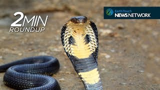 Canned cobras, turtle turn-ons & a controversial wolf kill