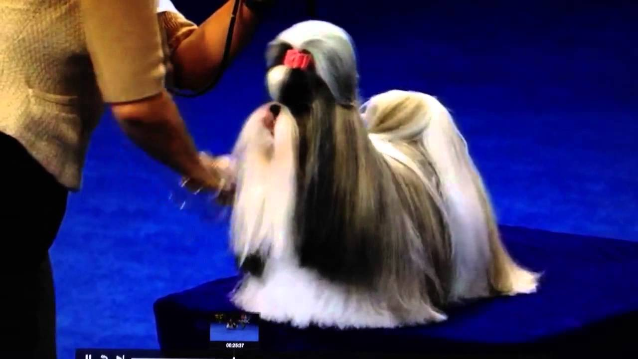 show me a shih tzu shih tzu national dog show youtube 9926