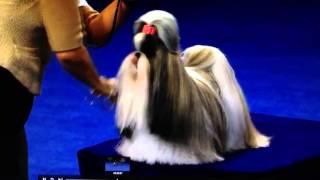 Shih Tzu - National Dog Show