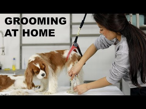 HOW TO GROOM YOUR DOG AT HOME | Cavalier King Charles grooming