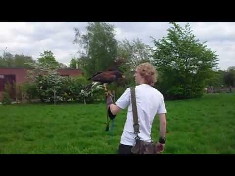 Flying Sky my Harris Hawk.AVI