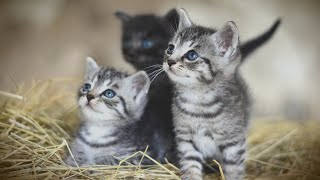 Музыкальные котята мяу мяу