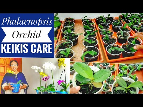 Phalaenopsis Orchid Keikis Care|potting Orchid Keikis|how To Grow Baby Orchids|Orchid Care Malayalam