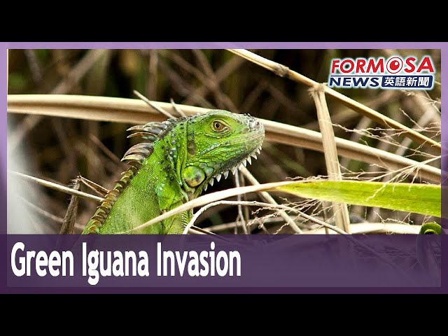South American lizard wreaking havoc in Taiwan