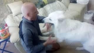 Белая Балованная Швейцарская овчарка Ричард . )))))